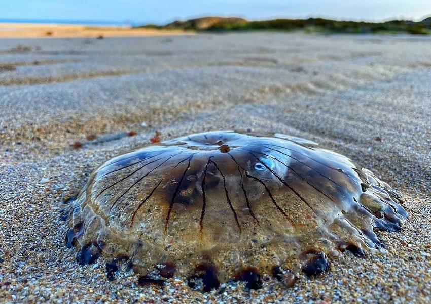 photo meduse plage poisson