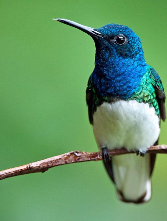 plumage colibris femelles