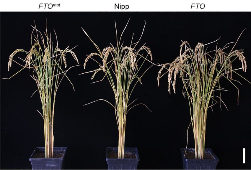 production plants riz gène FTO