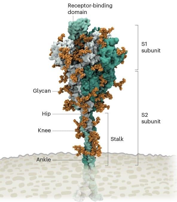 proteinte pointe coronavirus glycanes