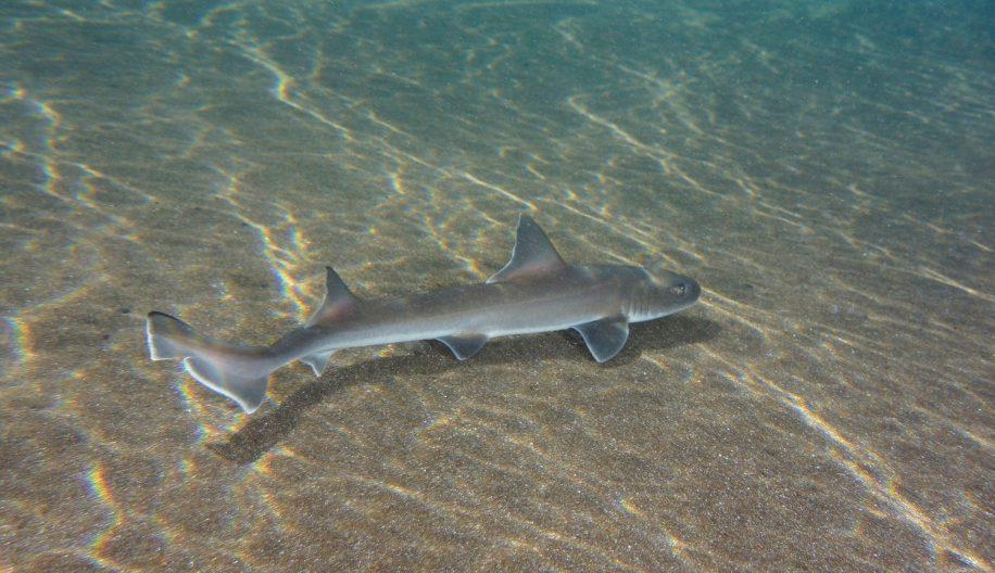 requin parthénogenèse