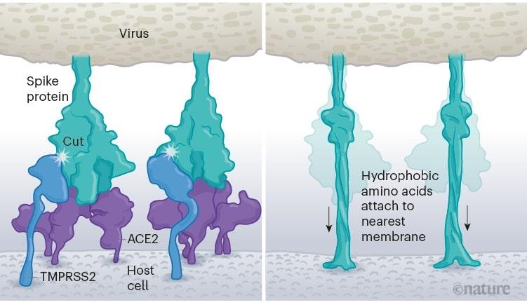 schema entree cellulaire coronavirus