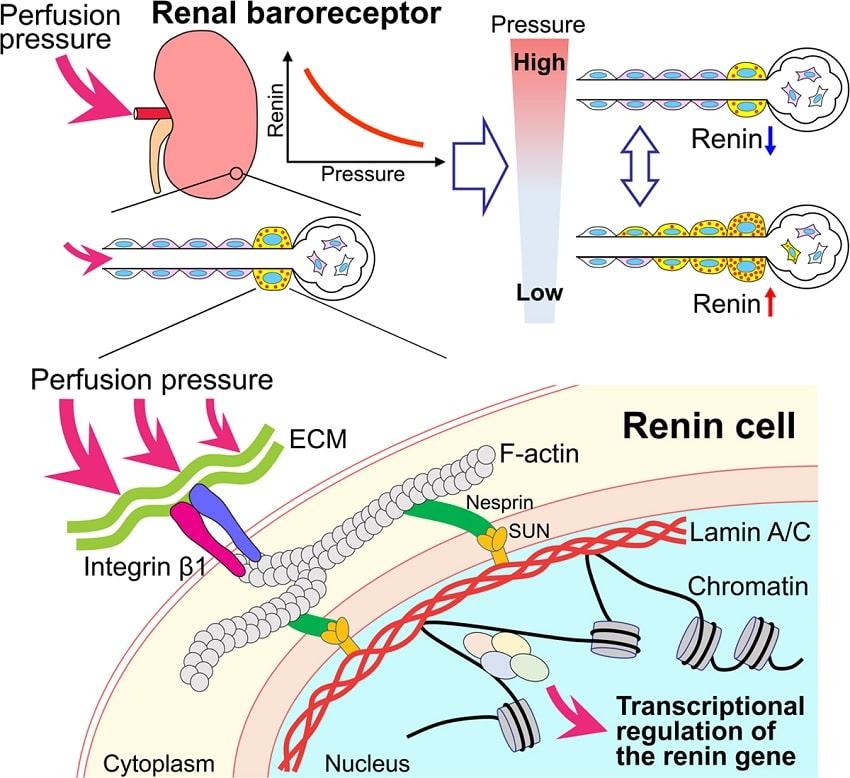 schema fonctionnement cellule renine
