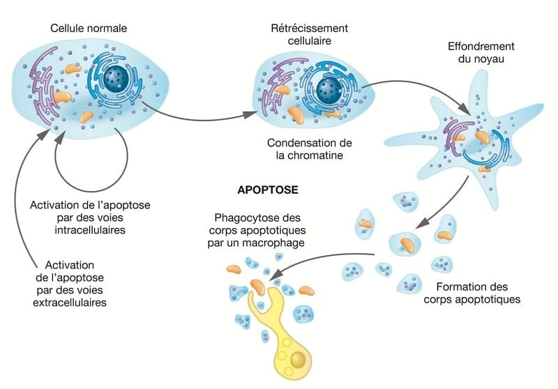 schema mecanisme apoptose