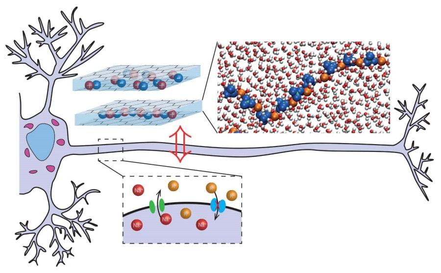 théorie neurone artificiel conduction ionique