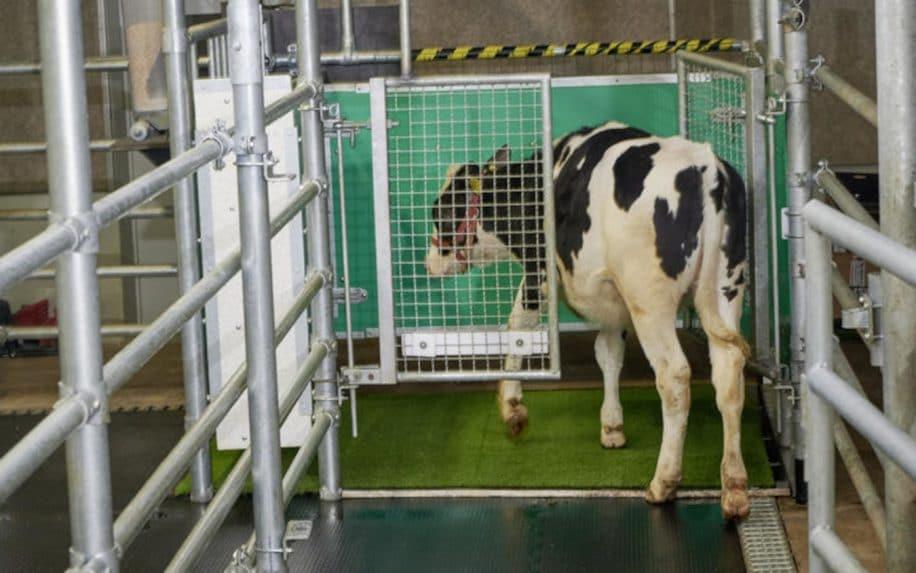 entraînement vaches miction latrines