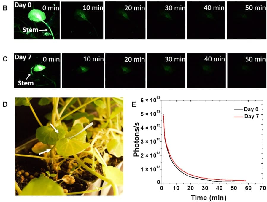 évolution phosphorescence plantes