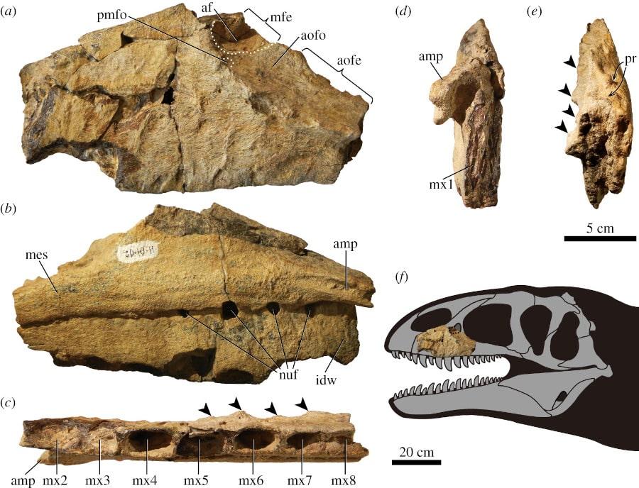 fossile mâchoire dinosaure superprédateur