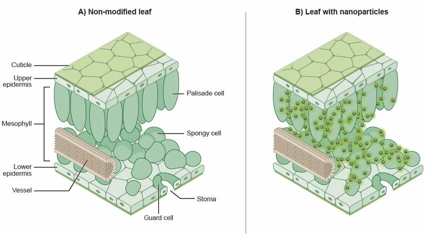 infiltration nanoparticules phosphore plantes