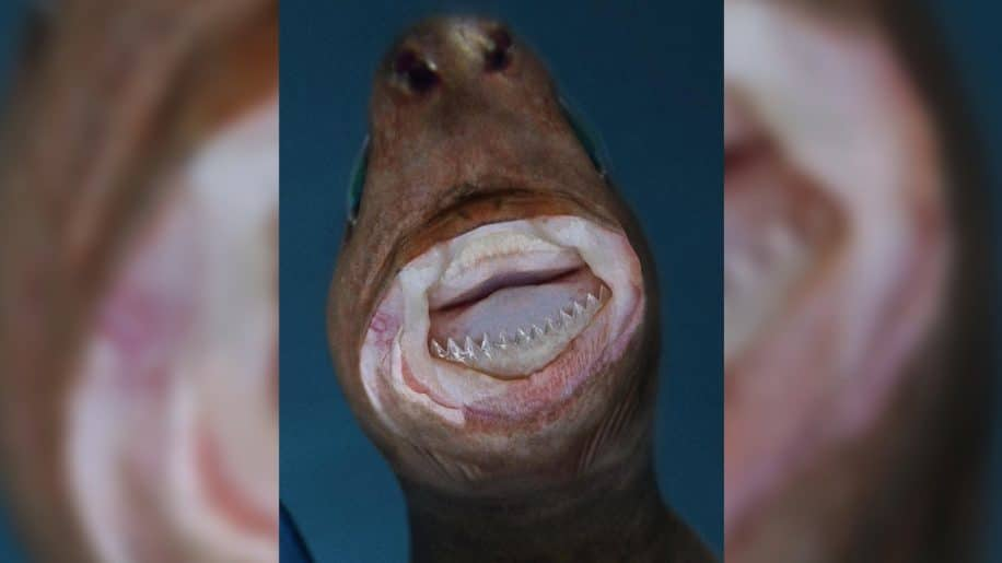 requin emporte-pièce alimentation