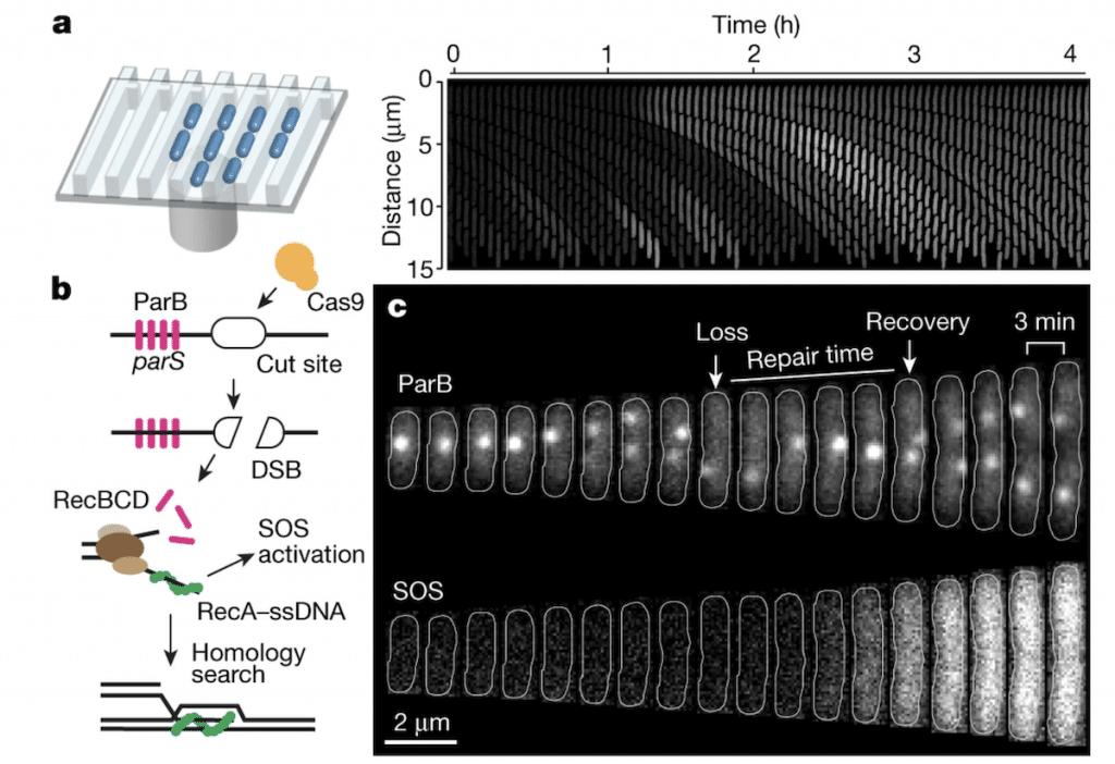 schema image reparation adn par bacteries