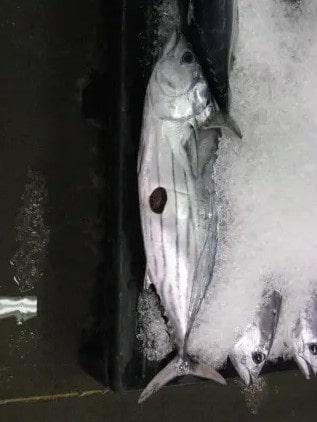 thon proie requin emporte-pièce