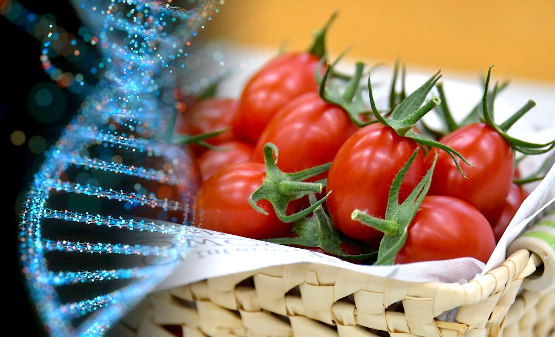 La tomate, premier aliment génétiquement modifié par CRISPR à être mis en vente