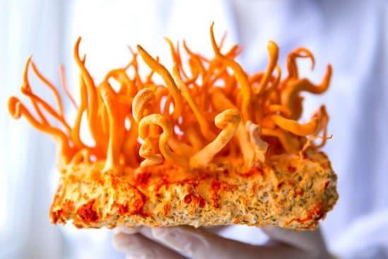 compose champignon himalaya raffine offre 40 fois plus action anticancereuse