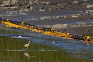 courlis long bec maree noire californie