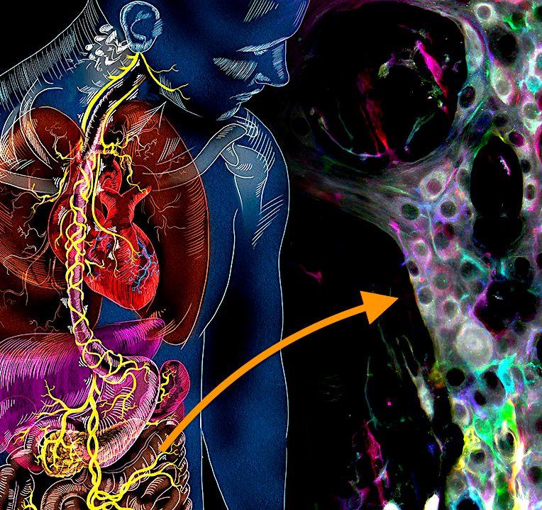 decouverte nouveaux mecanismes intestinaux autonomes nouvelle piste traitement intestin irritable