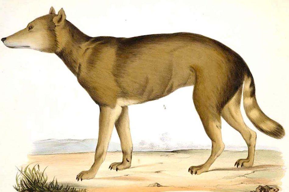 loup japonais eteint plus proche parent sauvage connu chien