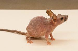 souris genetiquement modifiee genes perte poils